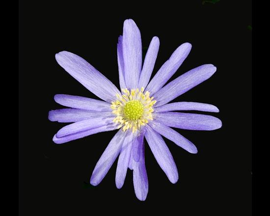 Purple star by richard00