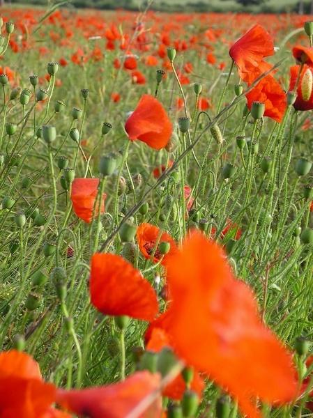 Poppy day by barney1