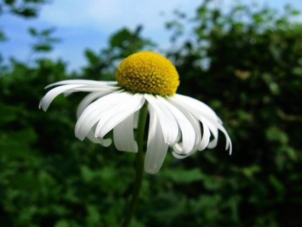 Stamen of a Daisy by ChrisPhotos145