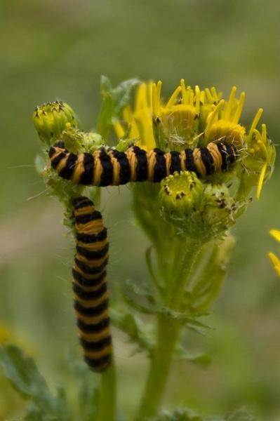 Caterpillars by CTee