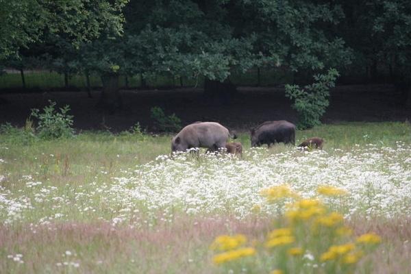 wild boar by lionking