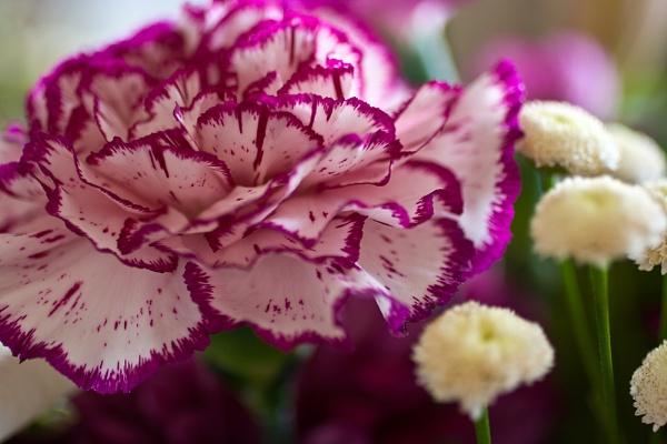 Carnation by summ3r
