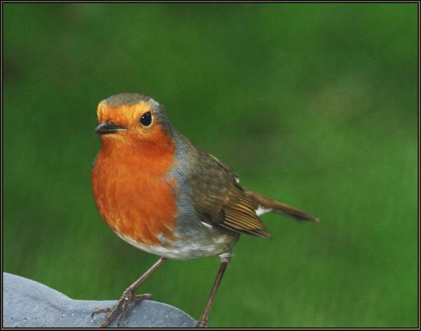 Robin by GrahamBaines