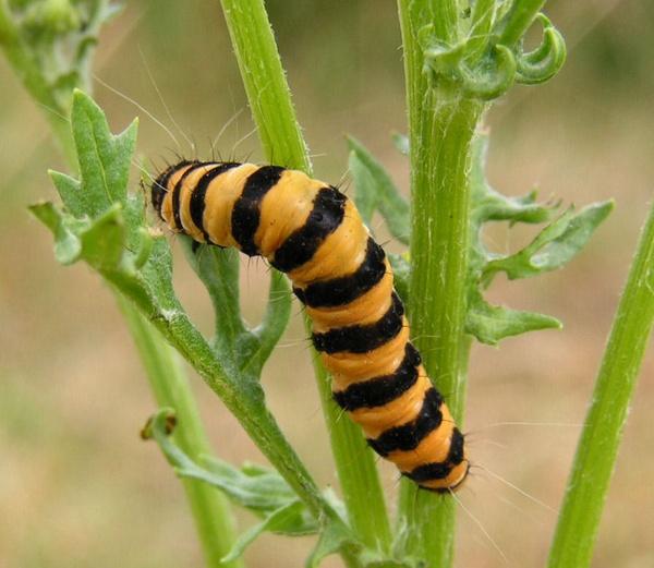 Caterpillar by bracken_donna