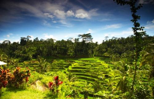 Rice fields by majas