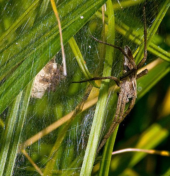 Nursery web spider by chilternsdavid