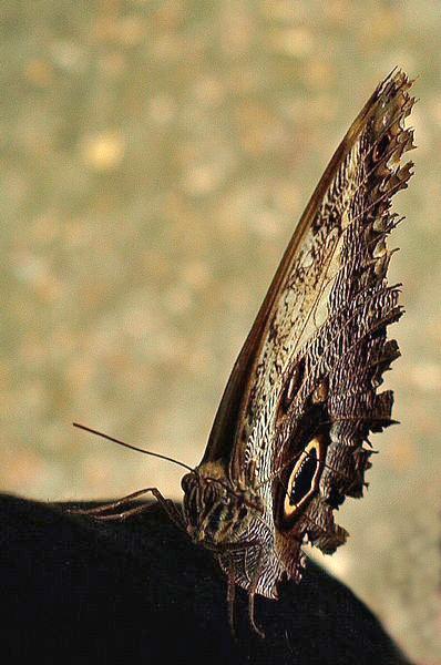 Butterfly Blues by crookymonsta