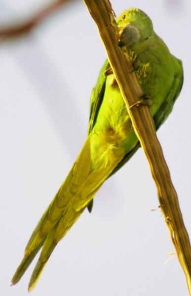 Green Parakeet by DanZed69