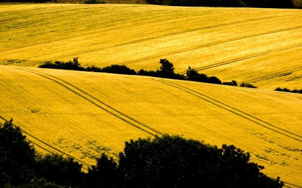 wheatfield by thomdh