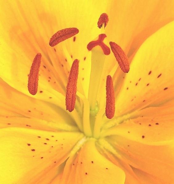 yellow lilly by XXXKEITHXXX