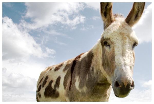 Mule by danburt