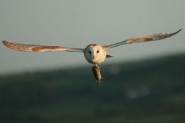barn owls supper