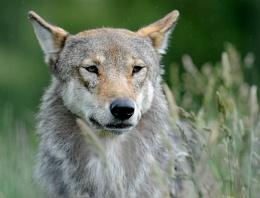 Wild Wolf..