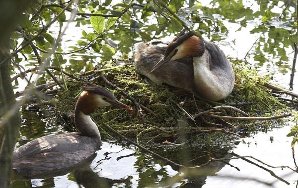 Grebe\'s on nest by strawman