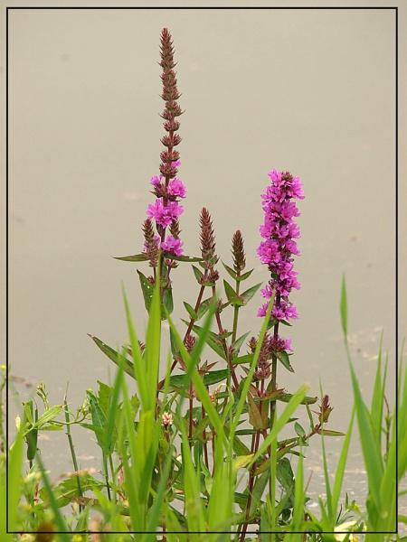 Wet Land Flower by Peter_Farrell