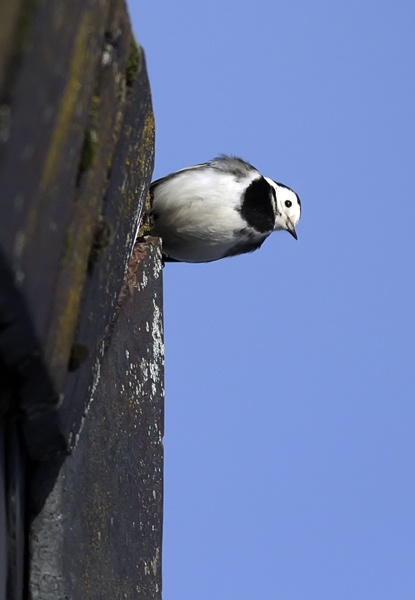 Rooftop Wagtail by francisr