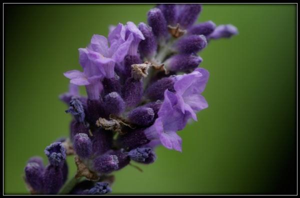 Purple Elegance by Morpyre