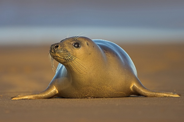 Grey Seal by John_Wannop