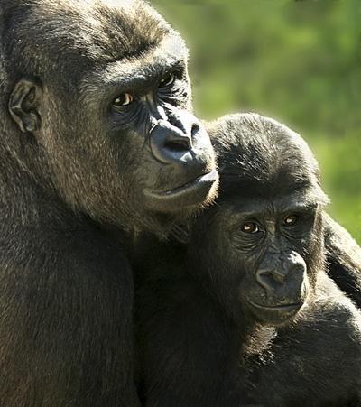 Lowland Gorillas by tywanda46