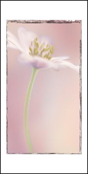 anemone art by PeeCee