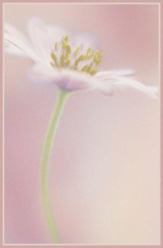 anemone art + grain by PeeCee