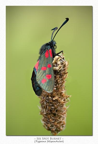 Burnet Moth by Wooly