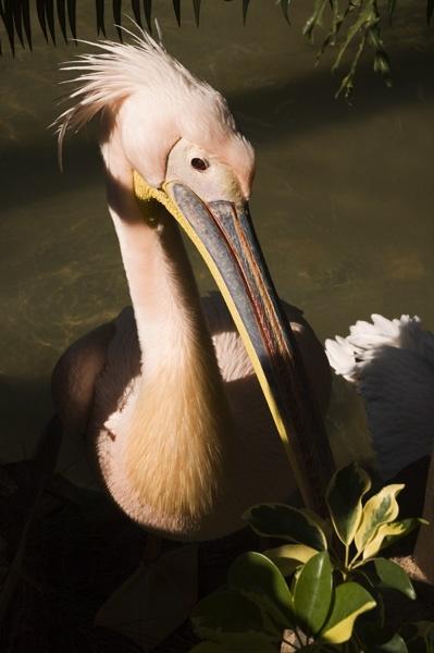 Pelican by wheeldon