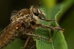 Robberfly 2