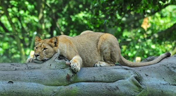 Recumbent Cat by Elwin