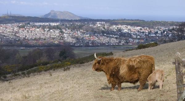 Highland cow and Edinburgh by AlexisM