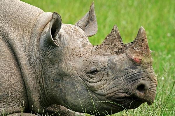 Rhino by boxer57