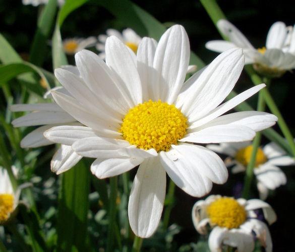 daisy by jaecat