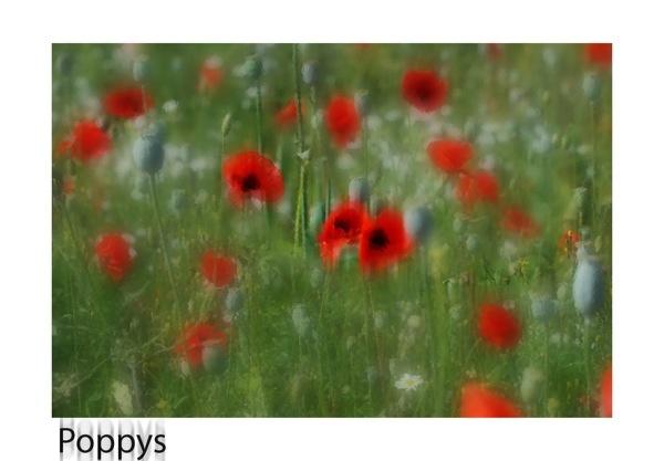 Poppys by anpix