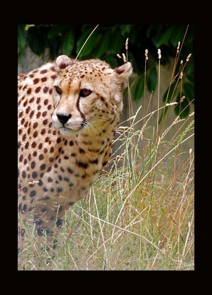 Cheetah by maggie66
