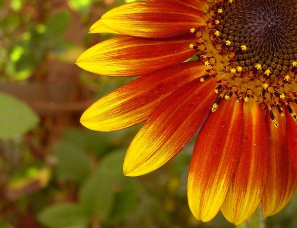Sun Flower 1 by faraidoon