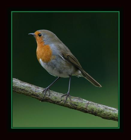 Robin by gribishok