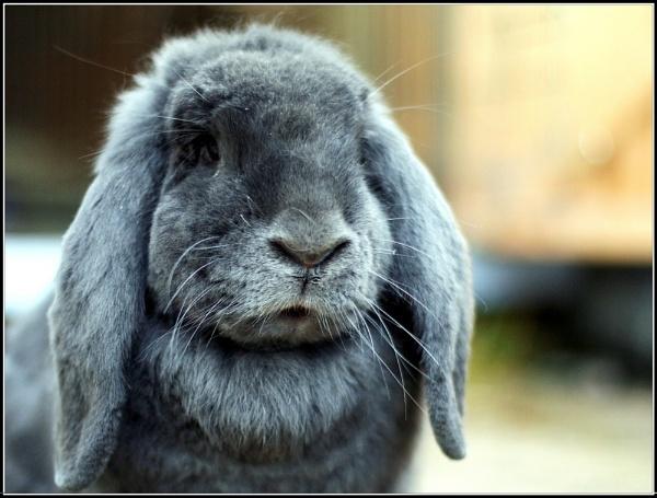 Big bunny by vickik