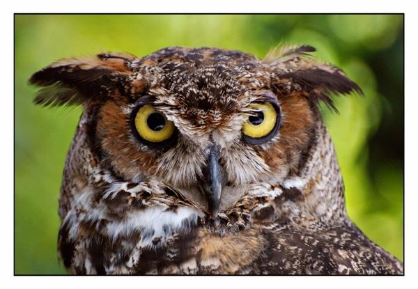 Long Eared Owl by GlenD