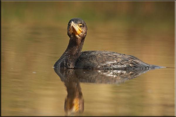 Cormorant by daffydill56