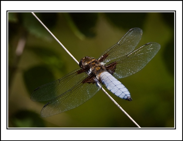 Broad Bodied Chaser by ron thomas