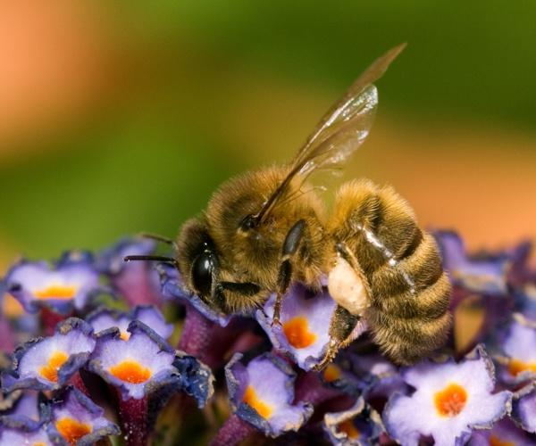 Honey Bee by barry john
