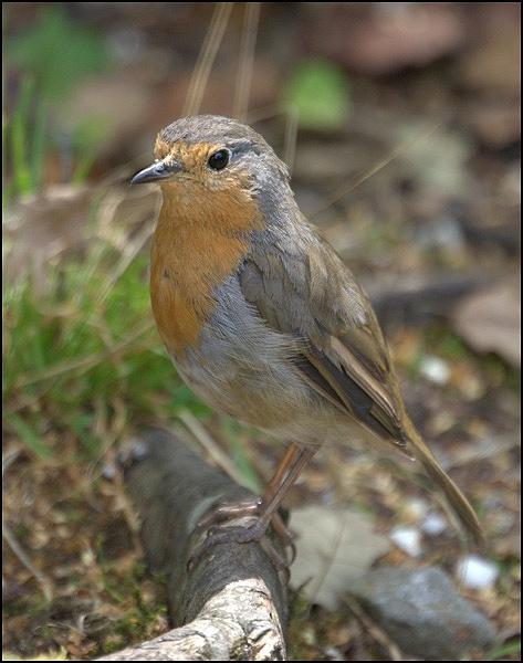 Robin by grumpalot