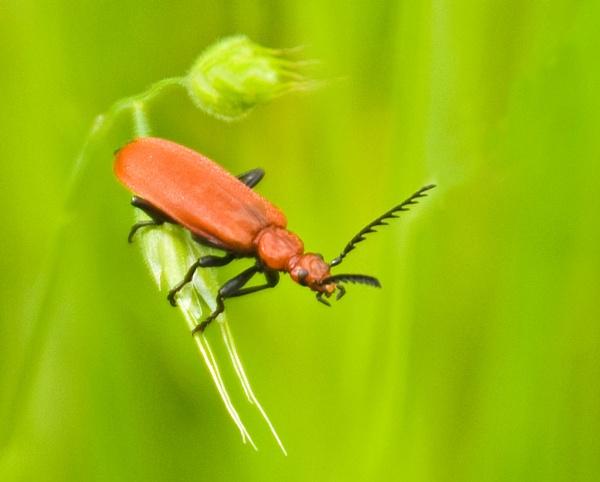Cardinal Beetle by roseyemma