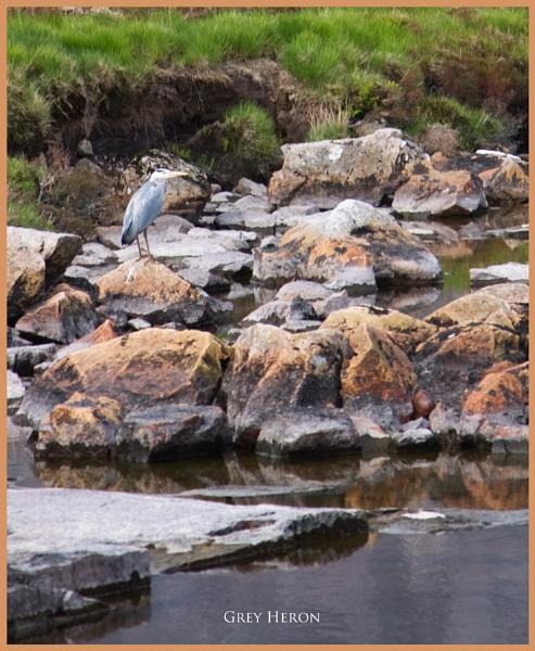 Grey Heron... by Scottishlandscapes