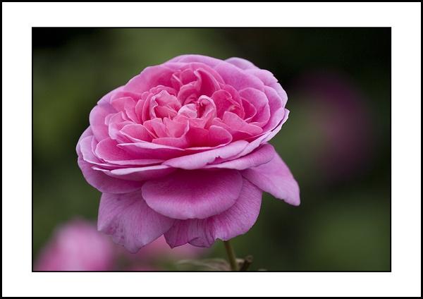 Pink by rickie