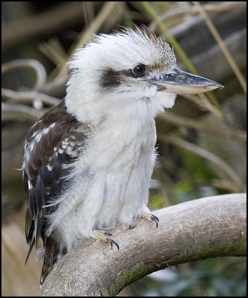 Kookaburra2 by rickie