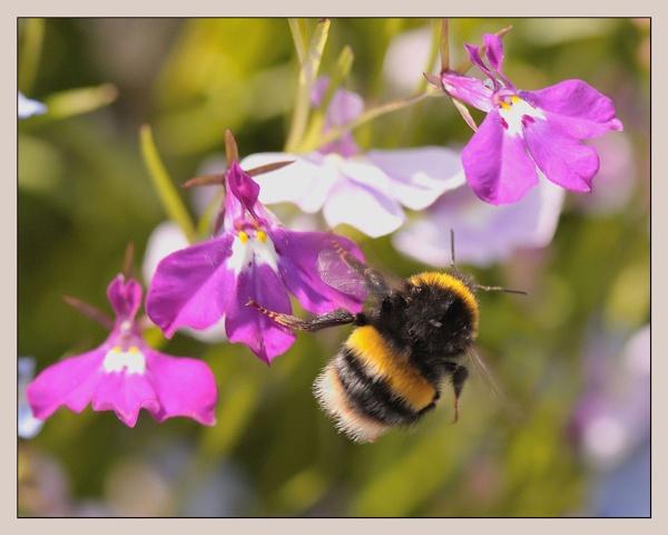 bee in flight by dden