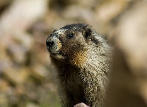 Marmot by fox28