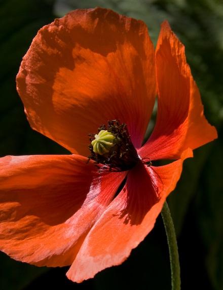 Poppy by M0TFT