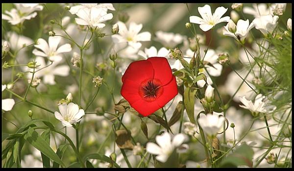 red poppy? by patman